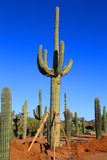 Saguaros. Saguaro cactus in the Sonoran desert in Arizona at sunrise Stock Photo