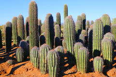 Saguaros. Saguaro cactus in the Sonoran desert in Arizona at sunrise Stock Photos