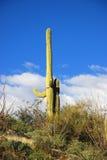 Saguaros in Saguaro National Park Stock Photos