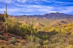 Saguaros. In Sonoran Desert, Arizona stock images