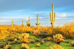 Saguaros Royalty Free Stock Image