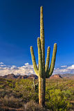 Saguaros. Sonoran Desert with Saguaros near Phoenix stock image