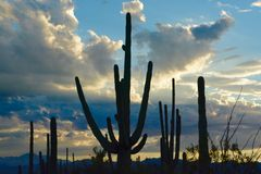 Saguaros and Sunset Stock Photo