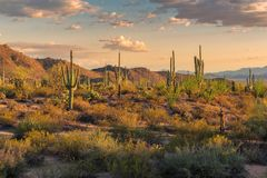 Saguaros at sunset in Sonoran Desert near Phoenix. Saguaros at sunset in Sonoran Desert near Phoenix, Arizona royalty free stock photos