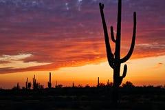 Silhouette. Saguaros at Sunset in Sonoran Desert near Phoenix royalty free stock image