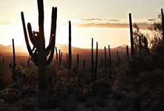 saguaros at sunset in the tucson mountain park, arizona, united royalty free stock image