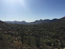 Saguaros Tonto Стоковая Фотография