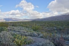 Saguaroskog i nationell monument för Saguaro Arkivbild