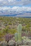 Saguaroskog i nationell monument för Saguaro Royaltyfri Fotografi