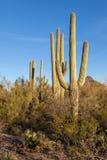 Saguarosydväster arkivfoto