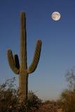 Saguarrocactus Royalty-vrije Stock Fotografie