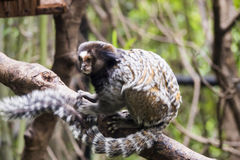 Sagui de Mico Photo stock