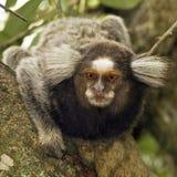 Sagui Dwarf Monkey Royalty Free Stock Images