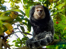Sagui Royalty Free Stock Photos