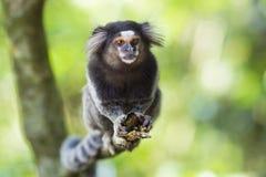 Sagui Monkey in the Wild in Rio de Janeiro, Brazil Stock Image