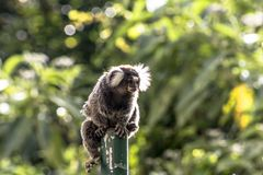 Sagui. Small monkey popularly known as White-Tailed Sagittarius, Callithrix jacchus, in an area of Atlantic Forest in the neighborhood of Intrerlagos,  south of Stock Image