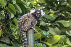 Sagui. Small monkey popularly known as White-Tailed Sagittarius, Callithrix jacchus, in an area of Atlantic Forest in the neighborhood of Intrerlagos,  south of Stock Photography