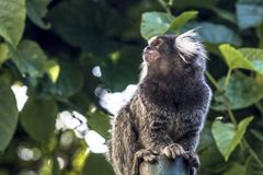 Sagui. Small monkey popularly known as White-Tailed Sagittarius, Callithrix jacchus, in an area of Atlantic Forest in the neighborhood of Intrerlagos,  south of Royalty Free Stock Image