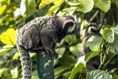 Sagui. Small monkey popularly known as White-Tailed Sagittarius, Callithrix jacchus, in an area of Atlantic Forest in the neighborhood of Intrerlagos,  south of Stock Photo