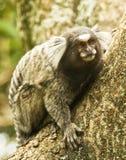 Sagui zwergartiger Affe Stockfoto