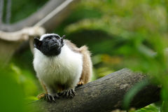 Saguinus bicolor Foto de Stock