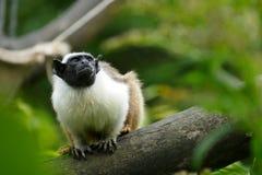 Saguinus bicolor Zdjęcie Stock