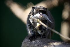Saguinus imperator. Monkeys - Saguinus imperator ( emperor tamarin ) siting on branch and eating fruit Royalty Free Stock Photo