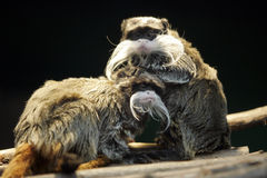 Saguinus imperator. Monkeys - Saguinus imperator ( emperor tamarin ) , (moustache monkey) bigger monkey cleaning small one Stock Photography