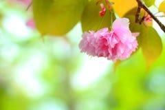 Sagura Royalty Free Stock Image