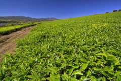 Sahambavy. Tea plantation in Madagascar Stock Photos