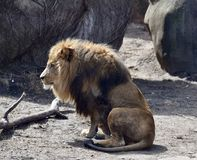 Sahar. This is an early Spring picture of Sahar, the eight year old male lion isitting in his compound at the Lincoln Park Zoo located in Chicago, Illinois in Stock Photos