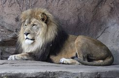 Sahar on a Ledge. This is an early Spring picture of Sahar an eight year old male African Lion sitting on a ledge in his compound at the Lincoln Park Zoo located stock photo
