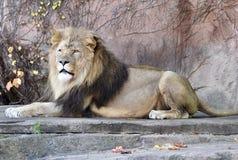 Sahar, re dello zoo fotografia stock libera da diritti