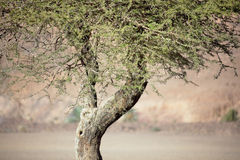 Sahara acacia tree (Acacia raddiana). Royalty Free Stock Photography