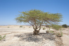 Sahara acacia tree in desert landscape Royalty Free Stock Photo