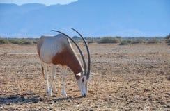 Sahara antelope scimitar oryx Oryx leucoryx Stock Image