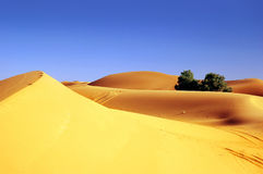 Sahara desert. Beautiful yellow sand dunes and two trees in Sahara desert Stock Photo