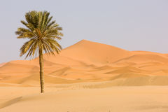 Sahara Desert. Sand dune and palm tree. Sahara Desert, popular travel destination Stock Photo