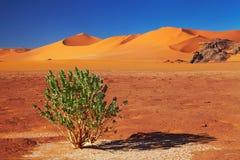 Sahara Desert, Algeria. Single tree in Sahara Desert, Tadrart, Algeria Royalty Free Stock Photo