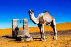 Sahara desert Сamel  Morocco, Merzouga. Camel in the Sahara Desert, Morocco Royalty Free Stock Photos