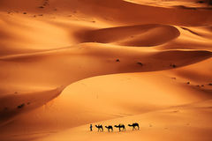 Sahara Desert. Camel caravan going through the sand dunes in the Sahara Desert, Morocco Stock Photo