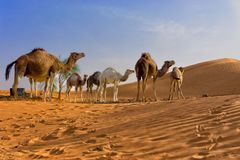 Sahara Desert with Camels in Tunisia stock photography