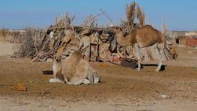 Sahara desert, dromedary camel stock video footage