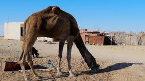Sahara desert, dromedary camel stock footage