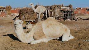 Sahara desert, dromedary camel stock video
