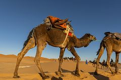 Sahara Desert, Morocco. Berber man leading camel caravan going t stock photos