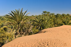 Sahara desert palms Stock Photos