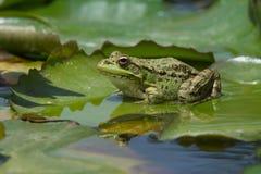 Sahara Frog Pelophylax saharicus Arkivfoton