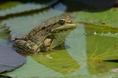 Sahara Frog Pelophylax saharicus Fotografering för Bildbyråer