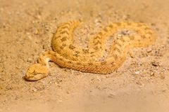 Sahara- gehörntes Vipera ammodytes, Cerastes Cerastes, Sand, Nord-Afrika Supraorbital Lizenzfreie Stockfotografie